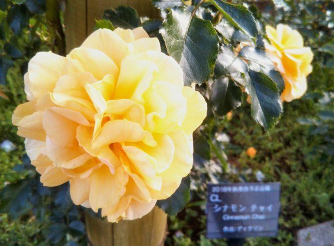 京成バラ園に美味しそうなドリンク!?このバラはシナモンチャイ