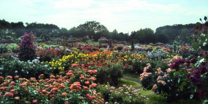 京成バラ園の景色は見応えある色とりどりのバラがたくさん