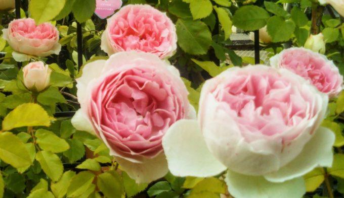 京成バラ園入口京成バラ園の入口付近に花びらのグラデーションが印象的なバラ