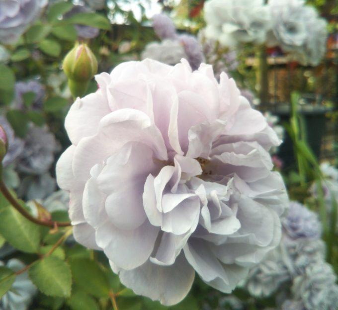 京成バラ園の入口付近で淡い藤色が珍しいバラ
