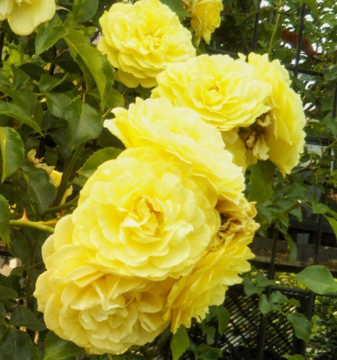 京成バラ園の入口付近で元気がもらえそうな黄色いバラ
