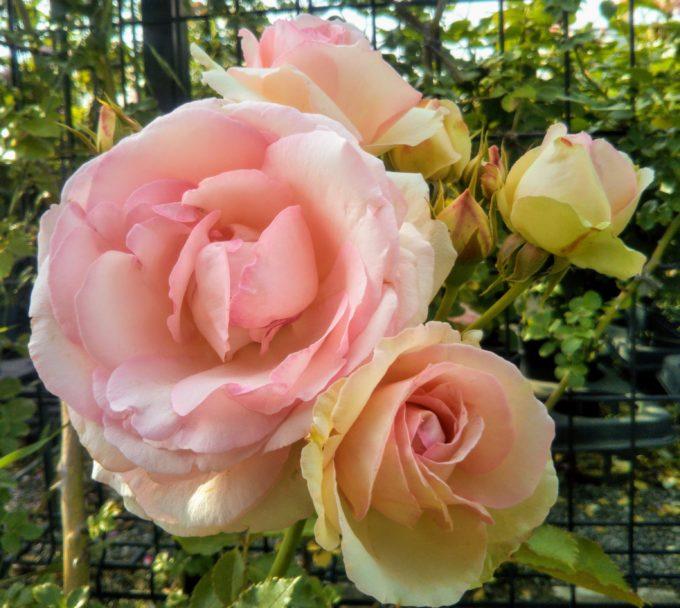 京成バラ園の入口付近には薄ピンクの色合いが上品なバラ