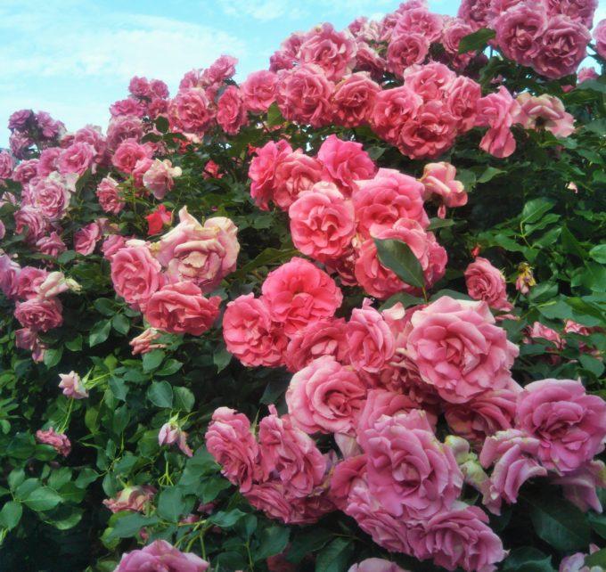 京成バラ園のおもてなしのバラは女性達の視線釘つげ!?存在感たっぷりのバラは青空にも映えます