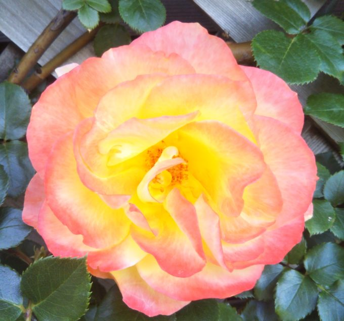 京成バラ園の中で群を抜いて美しさのオーラが際立っていたバラ