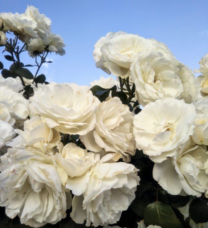 京成バラ園で青空に映える白いバラは爽やか