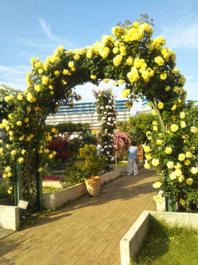 京成バラ園で青空と黄色いバラのコントラストがマッチしているアーチ
