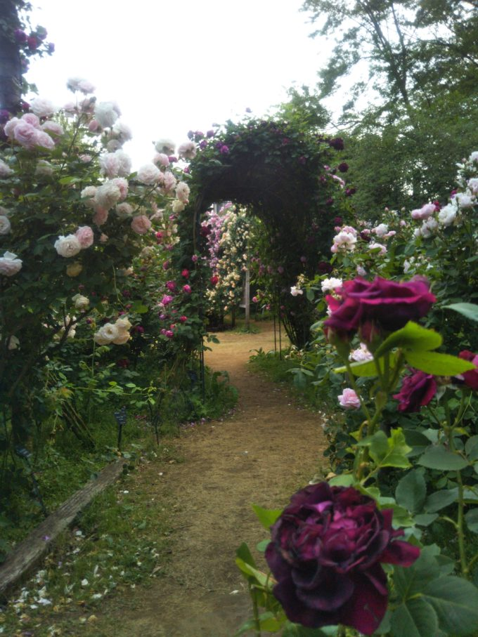 京成バラ園でちびっ子でも近くで鑑賞しやすい背丈が低めのバラのアーチ