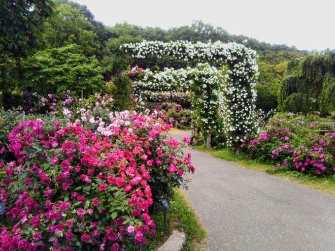 京成バラ園で白いバラが引き立つよう緑の葉っぱが絶妙な配分の抜群なアーチ