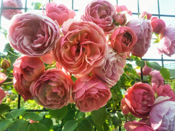 京成バラ園の入口付近には丸みのある形と幾重にも重なった花びらが可愛いバラ