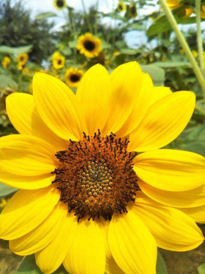 ひまわりガーデン武蔵村山 丸みのある花びらのひまわり
