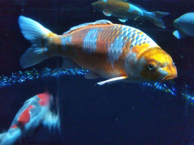 アートアクアリウム日本橋 オレンジ色の模様が輝いて見える金魚