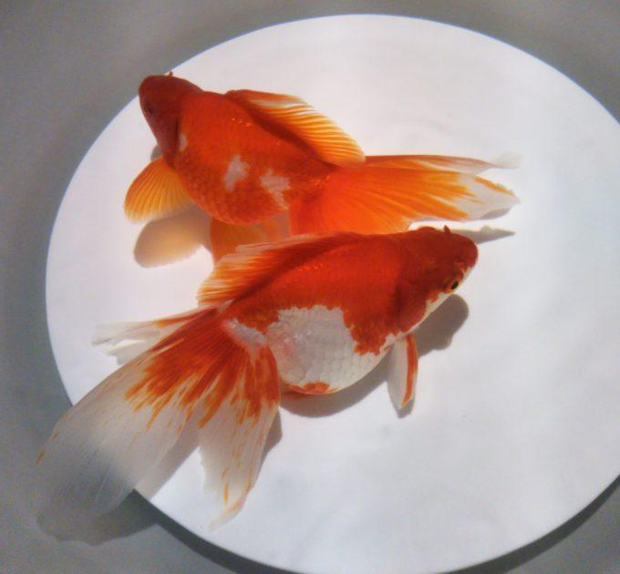 アートアクアリウム日本橋 焼き物の器に金魚