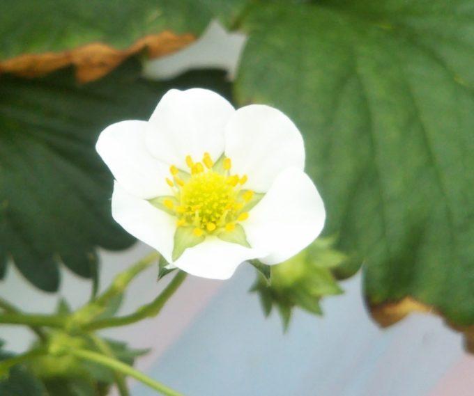 ストロベリーファームのとしおとめの花