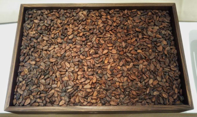 カカオ豆が発酵・天日干しされると香ばしい色合いに変化