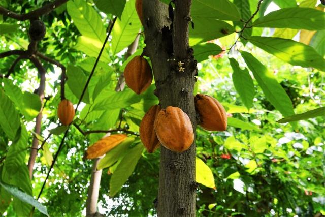 カカオ豆が収穫される前の状態(*イメージ画像)