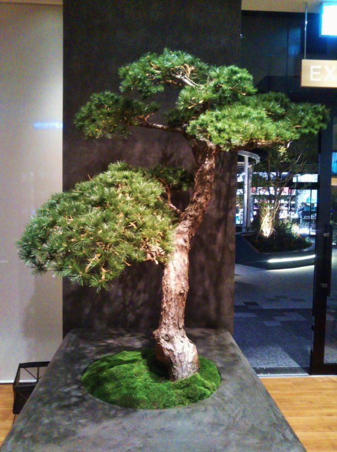 茶匠 清水一芳園の店内には盆栽のような松のディスプレイが和の雰囲気出てます!